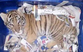 binomio-canino-ubica-a-tigre-de-bengala-empaquetado-en-jalisco