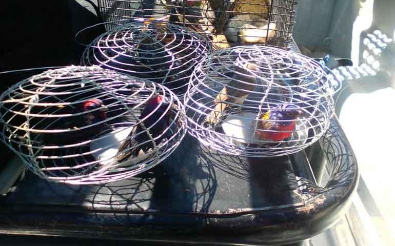 detienen-en-tepic-a-sujeto-con-aves-en-peligro-de-extincion