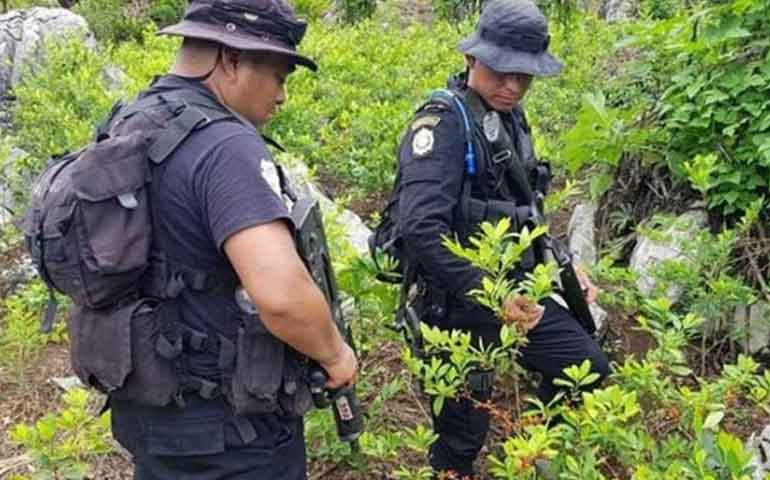 descubre-guatemala-primer-plantio-de-coca-de-su-historia