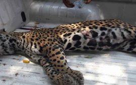 jaguar-sale-de-su-habitat-y-muere-atropellado-en-carretera-de-san-blas