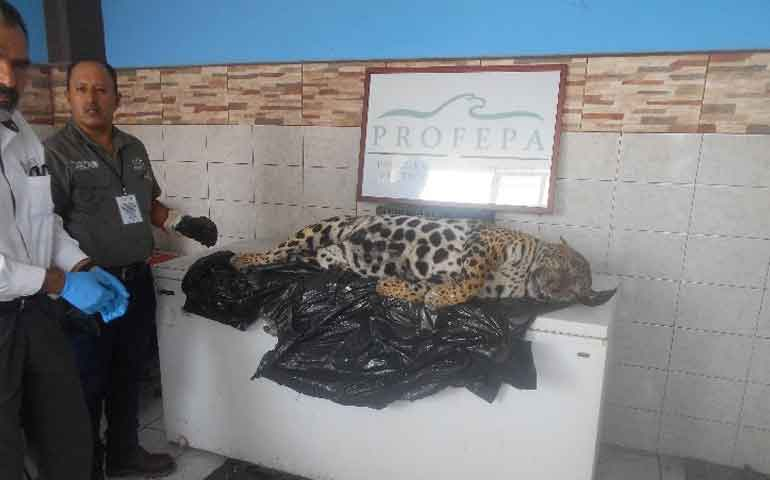profepa-interpone-denuncia-penal-por-muerte-de-jaguar