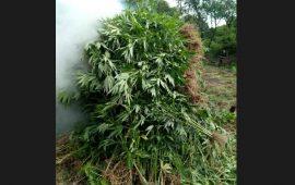 destruyen-180-kilos-de-marihuana-en-ixtlan-del-rio