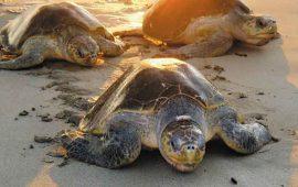 puerto-vallarta-ofrece-temporada-de-arribo-de-tortugas-marinas